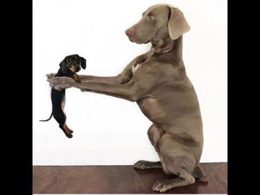 「面白い動物」あり得ないことをする犬, 猫・おもしろ犬, 猫のハプニング, 失敗集 #265
