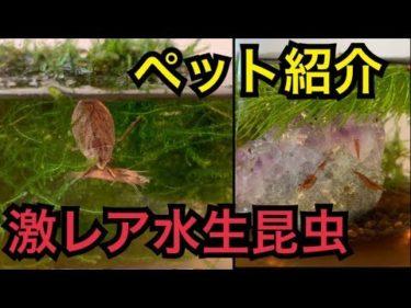 【水生昆虫】とあるゲーム実況者のペット紹介と水槽掃除【コオイムシ】