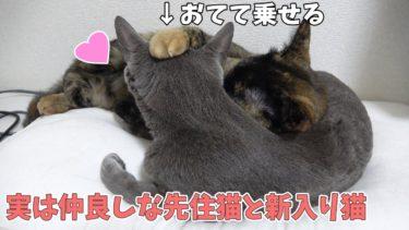 ゲーム実況をやってる隣で仲良く眠る先住猫ハムと新入り猫モモ