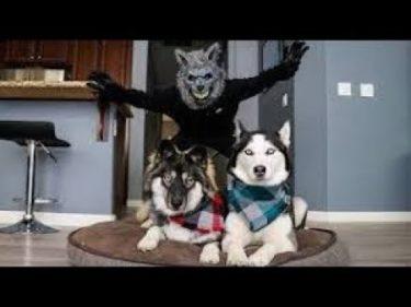 「面白い動物」あり得ないことをする犬, 猫・おもしろ犬, 猫のハプニング, 失敗集 #518